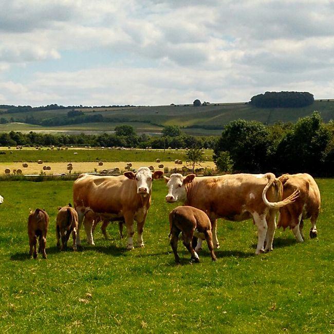 cows field farm