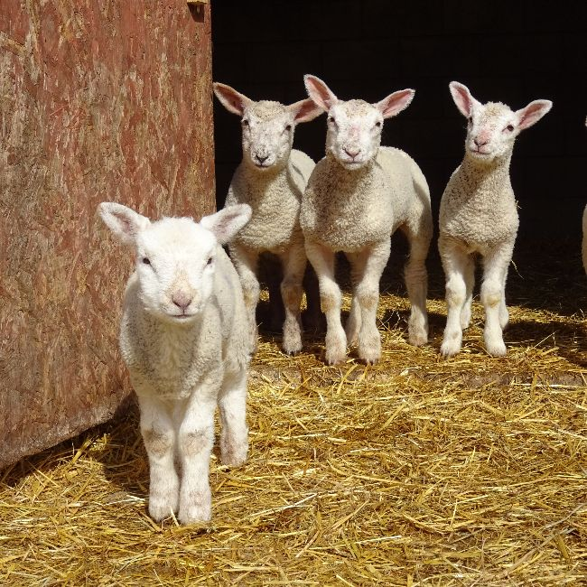 lambs in stable farm